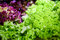 Stock Image : Salad leaves with lettuce