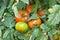 Stock Image : San marzano tomatoes