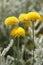 Stock Image : Santolina chamaecyparissus