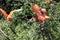 Stock Image : Scarlet Ibis, Eudocimus ruber