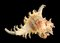 Stock Image : Sea shell: ramose or branched murex
