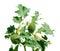 Stock Image : Searocket (Cakile baltica) isolated on whiteJimson weed (Datura stramonium) isolated on white