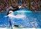 Stock Image : SeaWorld San Antonio killer whale