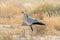 Stock Image : Secretary Bird, Kgalagadi Transfrontier Park, South Africa
