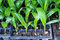 Stock Image : Seedlings of oil palm