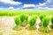 Stock Image : Seedlings rice