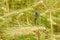 Stock Image : Self-heal on barley field