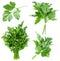 Stock Image : Set of fresh parsley