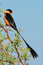 Stock Image : Shafttailed Whydah