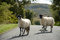 Stock Image : Sheep crossing the road