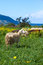 Stock Image : Sheep in cyprus
