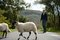 Stock Image : Sheep and farmer crossing the road in Lake District