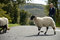 Stock Image : Sheep and farmer crossing the road