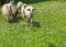 Stock Image : Sheep graze