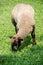 Stock Image : Sheep / lamb grazing