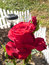 Stock Image : Shrub rose.