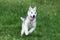 Stock Image : Siberian husky