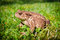 Stock Image : Side photo of European toad