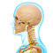 Stock Image : Side view of nervous system of head skeleton