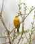 Stock Image : Yellowhammer on branch