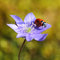Stock Image : Single Ladybug on violet flower in springtime