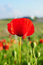 Stock Image : Single red poppy