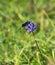 Stock Image : Six Spot Burnet Moth on Round Headed Rampion