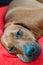 Stock Image : Sleeping dog