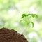 Stock Image : Small tomato seedling