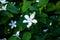 Stock Image : Small white flower