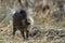 Stock Image : A small wild boar