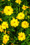 Stock Image : Small yellow flower