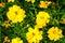 Stock Image : Small yellow sunflower
