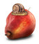 Stock Image : Snail pear