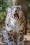 Stock Image : Snow Leopard