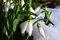 Stock Image : Snowdrops and Snow