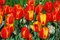 Stock Image : Softly colored red-yellow tulips