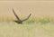 Stock Image : Sokoła wędrownego jastrząbek w locie