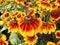 Stock Image : Sonnenhut Echinacea