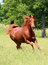 Stock Image : Sorrel Horse Running