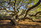 Stock Image : South Carolina Lowcountry Angel Oak Tree Charleston SC Nature Scenic