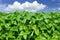 Stock Image : Soybean field