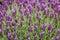 Stock Image : Spanish lavender