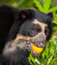Stock Image : Spectacled Bear with fruit