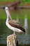 Stock Image : Spot-Billed Pelican