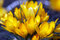 Stock Image : Spring crocuses