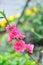 Spring plum blossom branches flower