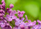 Stock Image : Spring Purple Lilac Flowers on the Green Background