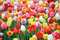 Stock Image : Spring Tulips