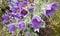 Spring violet flowers. Pulsatilla montana (Hoope) Reichb